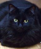 Chic black furry cat. Lies on the floor Royalty Free Stock Photography