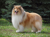 Chic collie Stock Images
