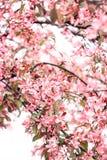 Chic inflorescence av ett rosa sakura träd Arkivbilder