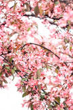 Chic inflorescence of a pink sakura tree. On a white background Stock Images