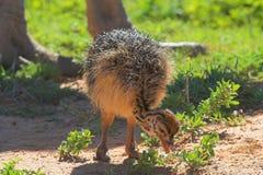 chic matande ostrich Royaltyfri Bild