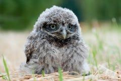 chic owl Fotografering för Bildbyråer