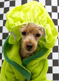 chic Poodle för 80-tal i badrock Arkivfoto