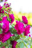 Chic red roses. Bush of red roses. Royalty Free Stock Photos