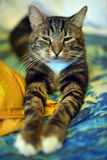 Chic striped cat Stock Photography