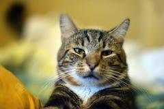 Chic striped cat Stock Photos