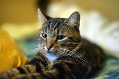 Chic striped cat Stock Images