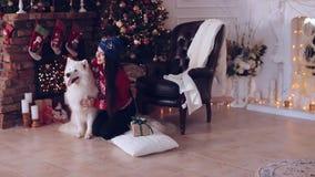 Chica joven con el samoyedo del perro cerca del árbol de navidad almacen de metraje de vídeo