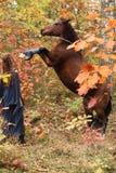 Chica joven hermosa con el caballo que se encabrita Fotos de archivo libres de regalías