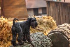 Chica joven hermosa y su schnauzer del negro del perro Foto de archivo libre de regalías