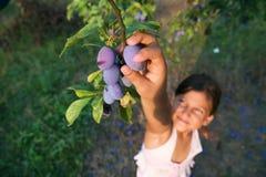 Chica joven que alcanza ciruelos de un árbol Imagen de archivo