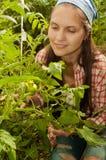 Chica joven que cuida para los tomates verdes Foto de archivo