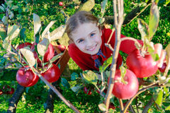 Chica joven que escoge manzanas orgánicas en el Basket.Orchard. Imagen de archivo libre de regalías