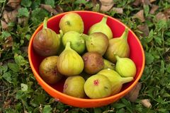`Chicago Hardy` figs at full ripeness in autumn. Any fruit lover would be tempted by this bowl of plump green figs. These `Chicago Hardy figs` are the essence of Royalty Free Stock Images