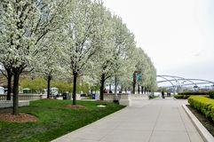 CHICAGO, IL - MAY 5, 2011 - Trees in full blossom during spring season in Millennium Park, with partial view of Jay Pritzker Pavil royalty free stock photos