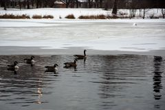 Chicago park with geese and ice Stock Photo