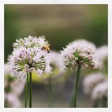 Bees pollinate chive blossoms in riverbed flowerbed Stock Image
