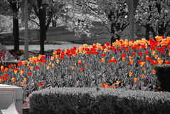 Chicago Tulips Royalty Free Stock Images
