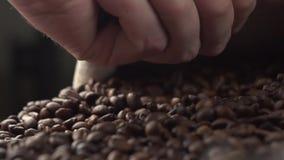 Chicchi di caffè arrostiti aromatici che sono mantenuti una tavola, mani che verificano qualità al rallentatore archivi video