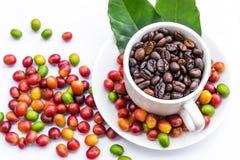 Chicchi di caffè arrostiti e chicchi di caffè maturi rossi Immagini Stock