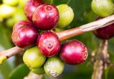 Chicchi di caffè che maturano sull'albero nel Nord della Tailandia Fotografie Stock Libere da Diritti