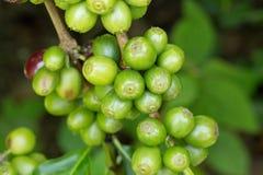 Chicchi di caffè che maturano sull'albero nel Nord della Tailandia Immagini Stock Libere da Diritti