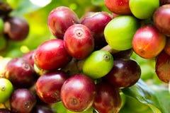 Chicchi di caffè che maturano sull'albero nel Nord della Tailandia Immagine Stock