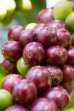 Chicchi di caffè che maturano sull'albero nel Nord della Tailandia Fotografia Stock