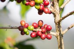 Chicchi di caffè che maturano sull'albero nel Nord della Tailandia Immagini Stock
