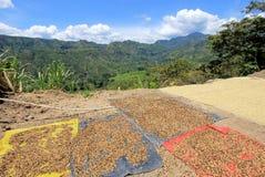 Chicchi di caffè che si asciugano al sole Piantagioni di caffè sulle montagne di San Andres, Colombia Fotografie Stock Libere da Diritti