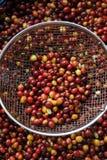 Chicchi di caffè in colapasta del metallo Fotografia Stock