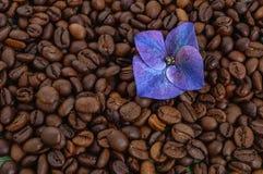 Chicchi di caffè con il fiore porpora Immagini Stock