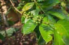Chicchi di caffè crescenti verdi Fotografia Stock