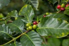 Chicchi di caffè dei chicchi di caffè dall'azienda agricola Immagine Stock