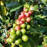 Chicchi di caffè del grezn e di rosso Immagine Stock