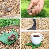 Chicchi di caffè del luwak del caffè del collage Fotografie Stock