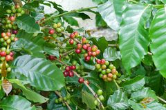 Chicchi di caffè della ciliegia sul ramo della pianta del caffè prima della raccolta Fotografia Stock