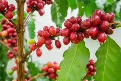 Chicchi di caffè della ciliegia sul ramo della pianta del caffè prima della raccolta Immagini Stock