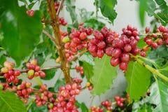 Chicchi di caffè della ciliegia sul ramo della pianta del caffè prima della raccolta Fotografia Stock Libera da Diritti