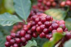 Chicchi di caffè freschi del primo piano su agricoltura dell'albero Fotografia Stock