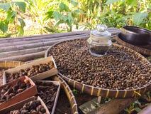 Chicchi di caffè di Kopi Luwak - Bali Immagine Stock