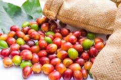 Chicchi di caffè maturi rossi Immagine Stock