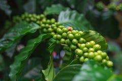 Chicchi di caffè non maturi che crescono sul ramo Fuoco selettivo Fotografia Stock