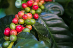 Chicchi di caffè non maturi sulla pianta del caffè Immagine Stock