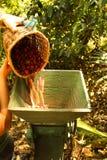 Chicchi di caffè organici. Fotografia Stock
