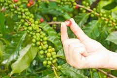 Chicchi di caffè rossi delle bacche Fotografia Stock Libera da Diritti