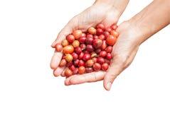 Chicchi di caffè rossi delle bacche sull'isolato della mano dell'agricoltore Fotografia Stock