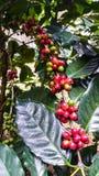 Chicchi di caffè rossi freschi sull'albero nel giardino della Tailandia fotografie stock libere da diritti