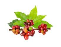 Chicchi di caffè rossi su un ramo della pianta del caffè Immagini Stock Libere da Diritti