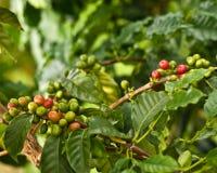 Chicchi di caffè sull'albero Fotografia Stock